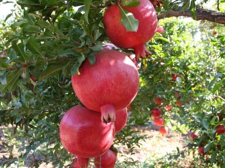 دلالها جلوی عرضه انار را گرفتند؛ خرید باغ ۵ هزار، فروش در شهرها 14 هزار تومان
